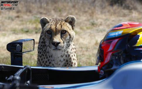 Jetzt durch die atemberaubenden Fotos klicken: Jean-Eric Vergne tritt am Westkap zum Beschleunigungsduell gegen einen Gepard an.