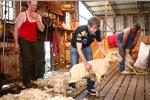 Sebastian Vettel (Red Bull) beim Schafe scheren