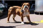 Roscoe, der Hund von Lewis Hamilton (Mercedes)