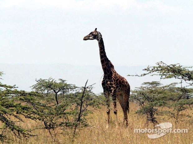 Giraffe als Zuschauer bei der Safari-Rallye in Kenia