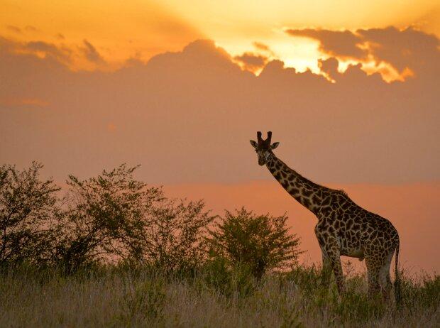 Giraffe bei der Safari-Rallye in Kenia